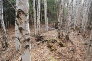 Birch Trees | www.PaganPreparedness.com